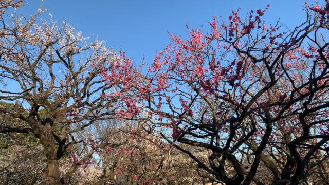 梅の木の中で佇むハイエンド機材・バイノーラルマイクKU100